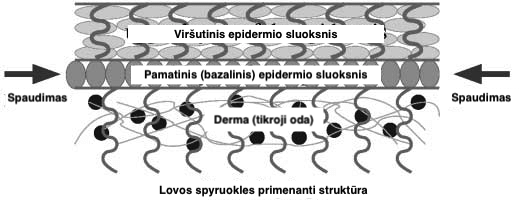 1 pav. Pamatinis epidermio sluoksnis auga greičiau nei jį supantys, o tai sukuria spaudimą, lemiantį šio sluoksnio erdvinius pokyčius bei pirštų atspaudų susidarymą. Iliustracija adaptuota iš Kücken, M., & Newell, A. C. (2004). A model for fingerprint formation. Europhysics Letters (EPL), 68(1), 141-146.